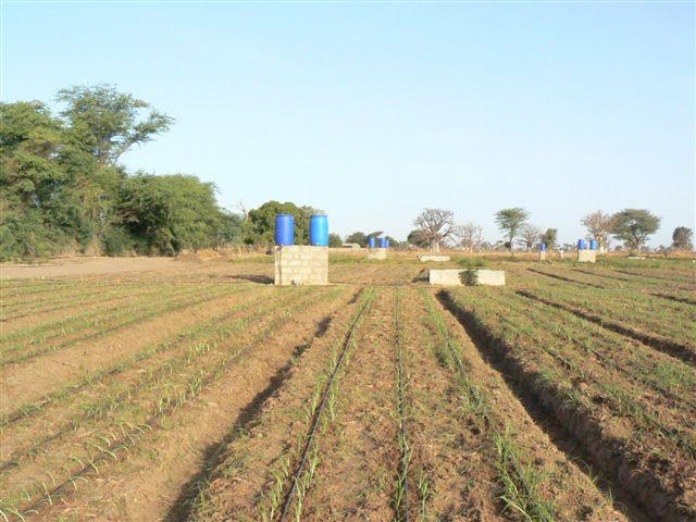 Le champ d'oignon en 2009